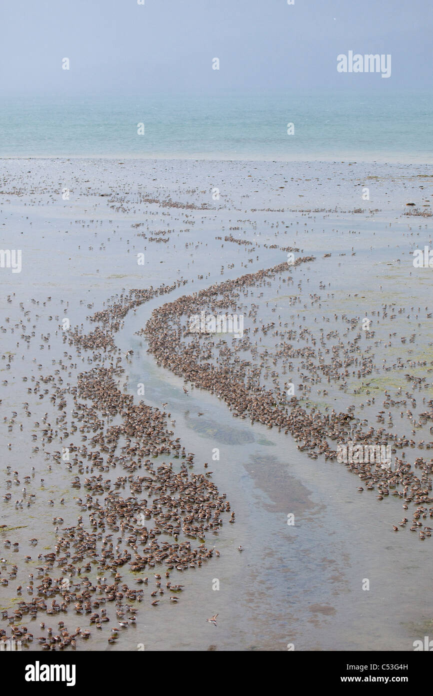 Staging flock of mostly Western Sandpipers lining edges of tidal creek during Spring migration on the Copper River - Stock Image