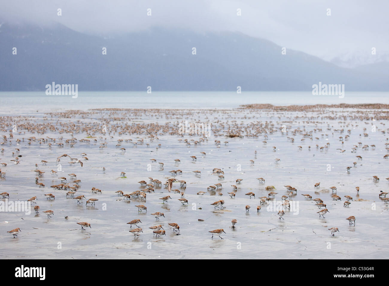 Shorebird flock scattered and feeding on mud flats of Hartney Bay during Spring migration, Copper River Delta, Alaska - Stock Image