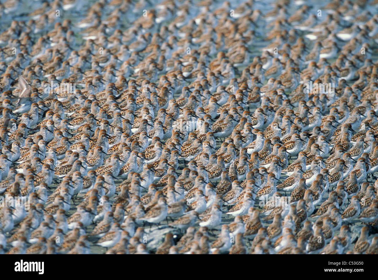 Large flock of Western Sandpipers on the mud flats of the Copper River Delta,Southcentral Alaska, Spring - Stock Image