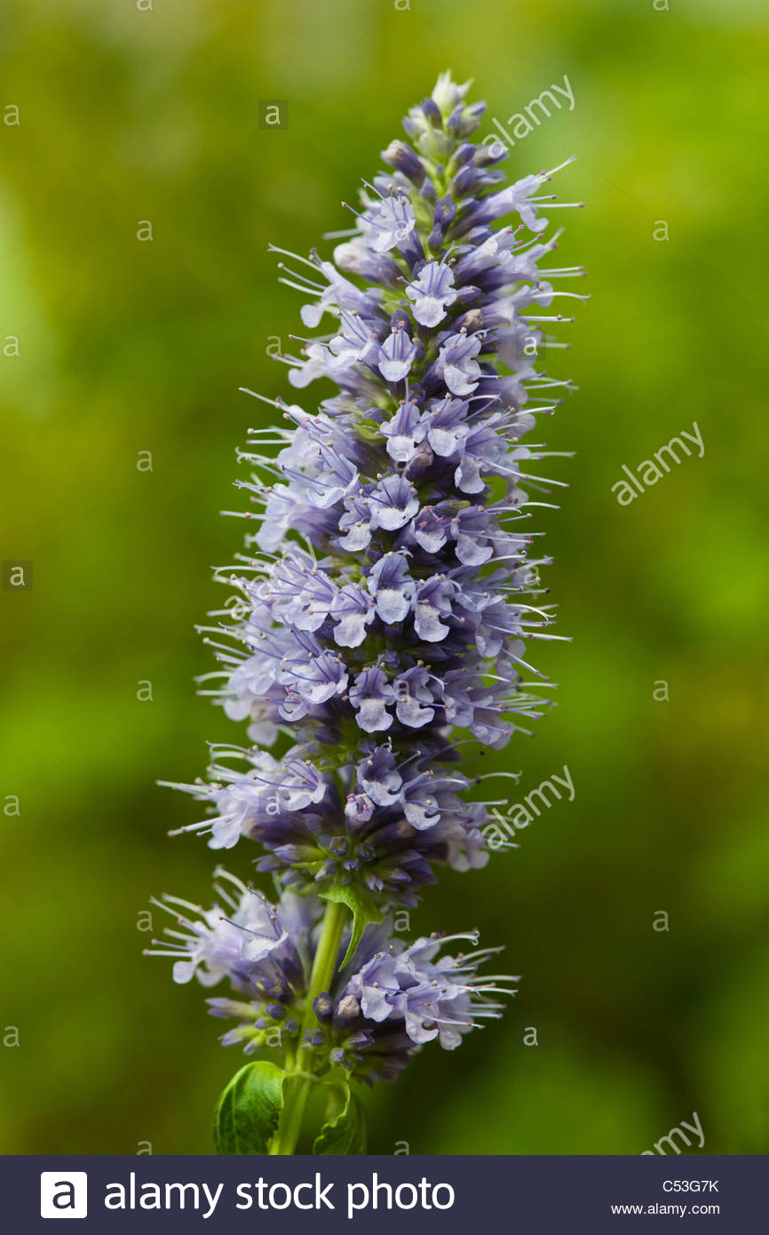 Blue giant hyssop agastache stock photos blue giant hyssop hummingbird mint giant hyssop agastache black adder summer flower perennial blue tall july garden plant mightylinksfo Image collections