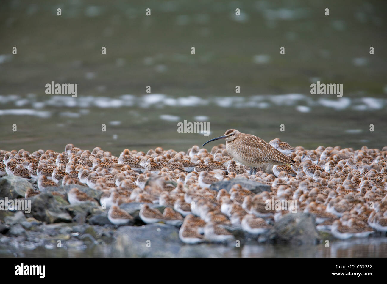 Whimbrel roosting with Western Sandpipers in Odiak Slough during Spring migration, Copper River Delta,Southcentral - Stock Image