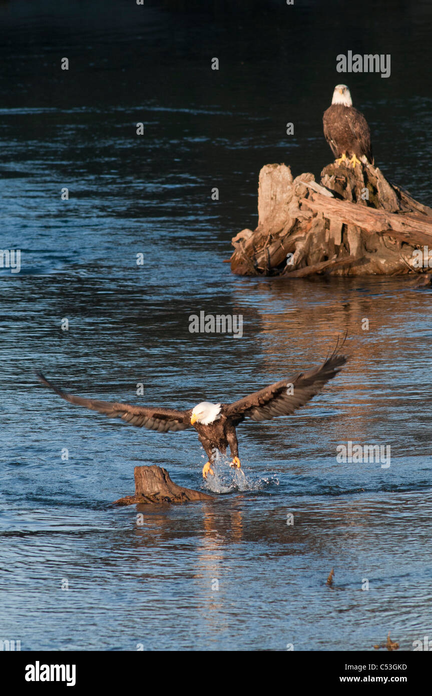 Bald Eagle catches a hooligan fish in its talons while fishing in the Alaganik Slough, Chugach National Forest, Stock Photo