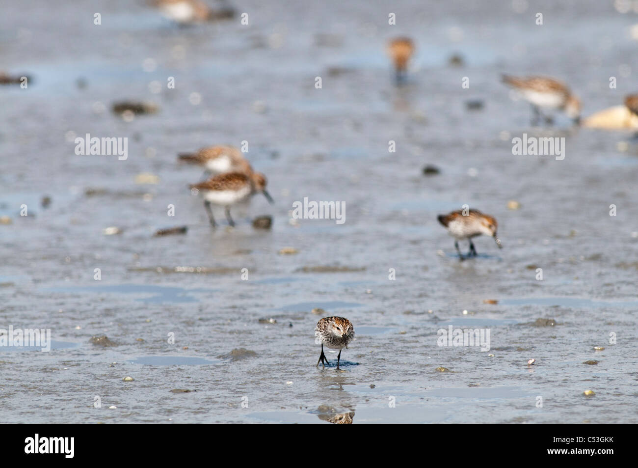 Western Sandpipers and Dunlins search the mud flats for food, Hartney Bay, Cordova, Prince William Sound, Alaska, - Stock Image