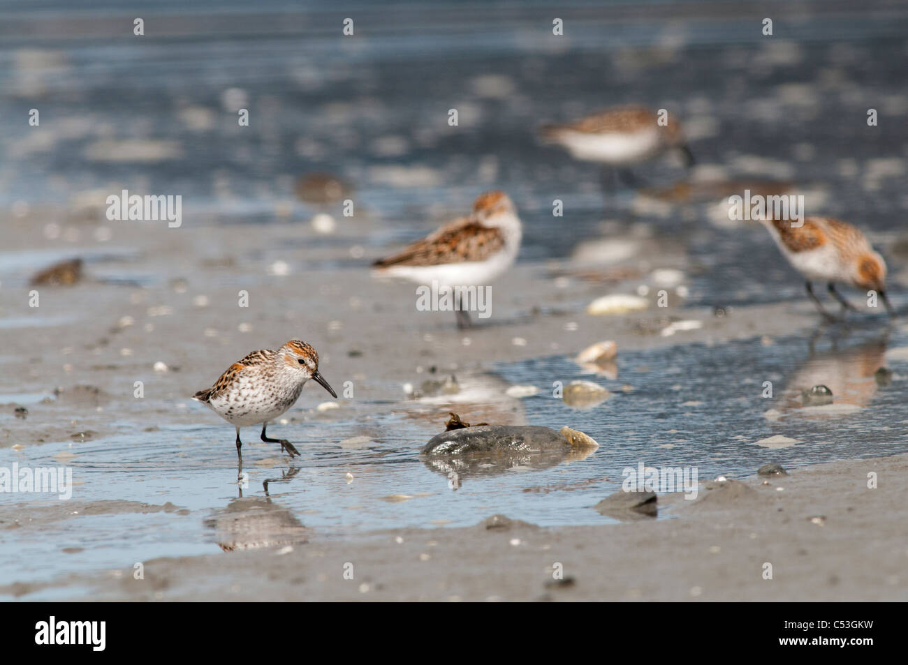Western Sandpipers search the mud flats for food, Hartney Bay, Cordova, Prince William Sound, Southcentral Alaska, - Stock Image