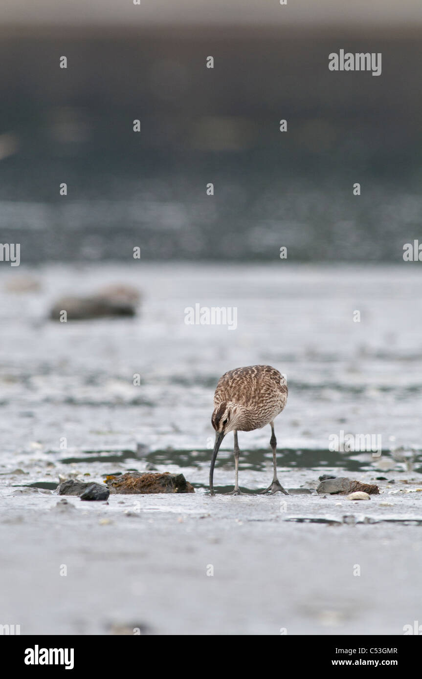 Whimbrel searches for food in the mud flats, Hartney Bay, Cordova, Prince William Sound, Southcentral Alaska, Spring - Stock Image