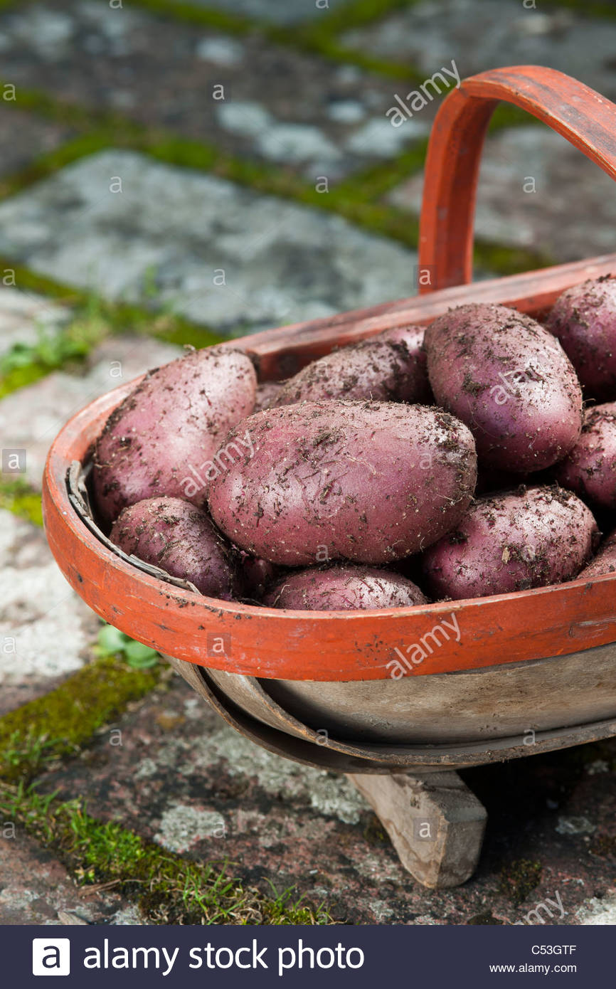freshly harvested dug Highland Burgundy Red potatoes trug vegetable summer June new main crop kitchen garden plant - Stock Image