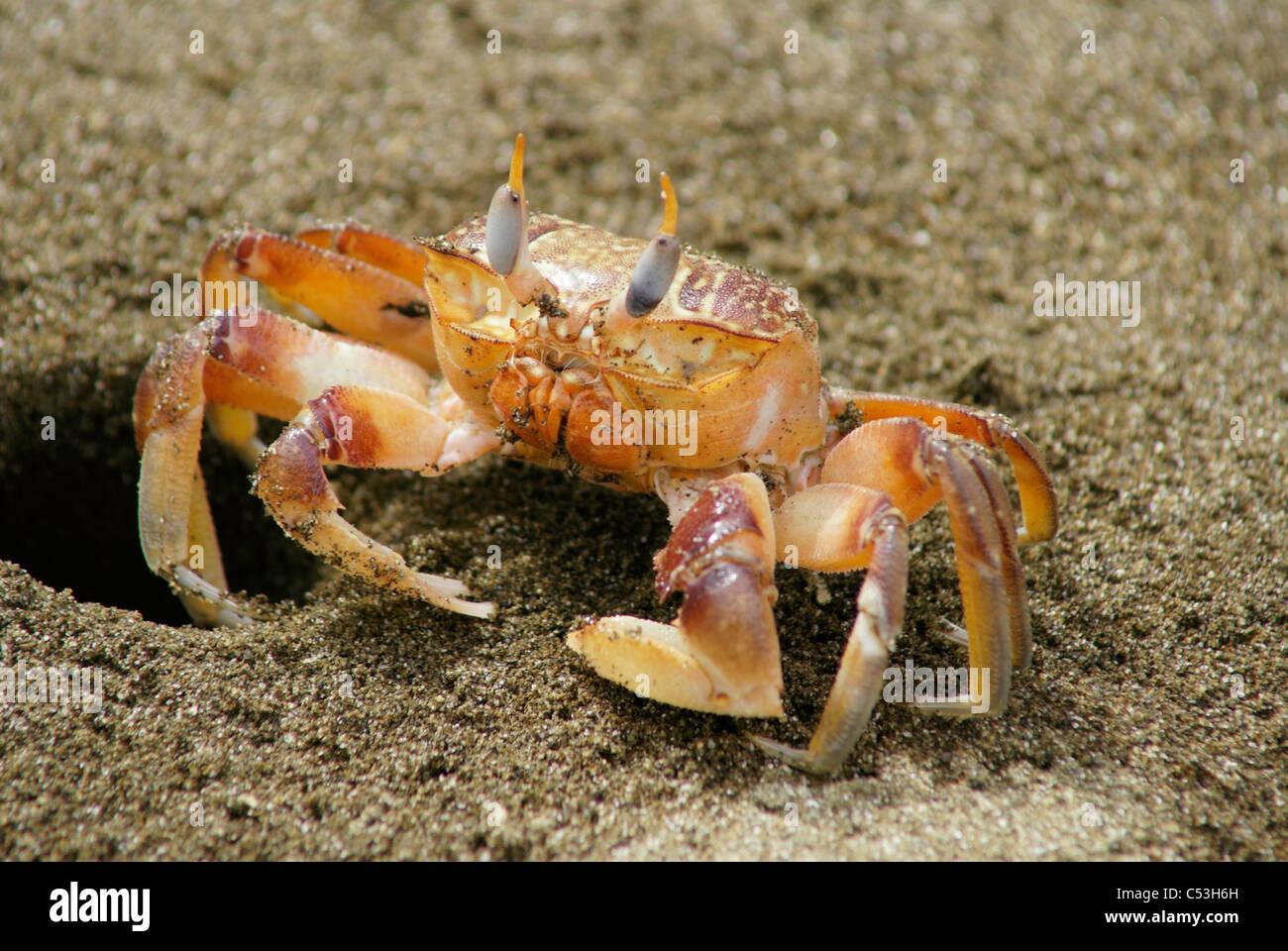 Sally Lightfoot Crab (Grapsus grapsus ) next to burrow hole at the Galapagos Islands, Ecuador. - Stock Image