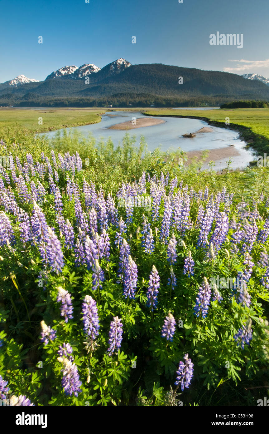 View of Arctic lupine in the Mendenhall Wetlands State Game Refuge along the Glacier Highway near Juneau, Alaska - Stock Image