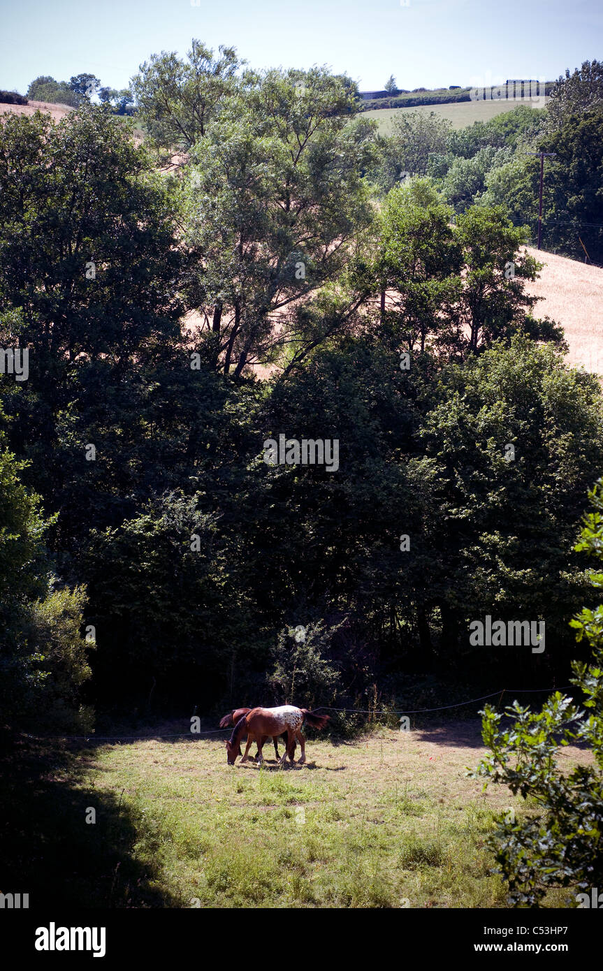 Paddock and Horses,Bay, horse, field, nature, rural, peace, grazing,rural idyll,pastoral,england - Stock Image