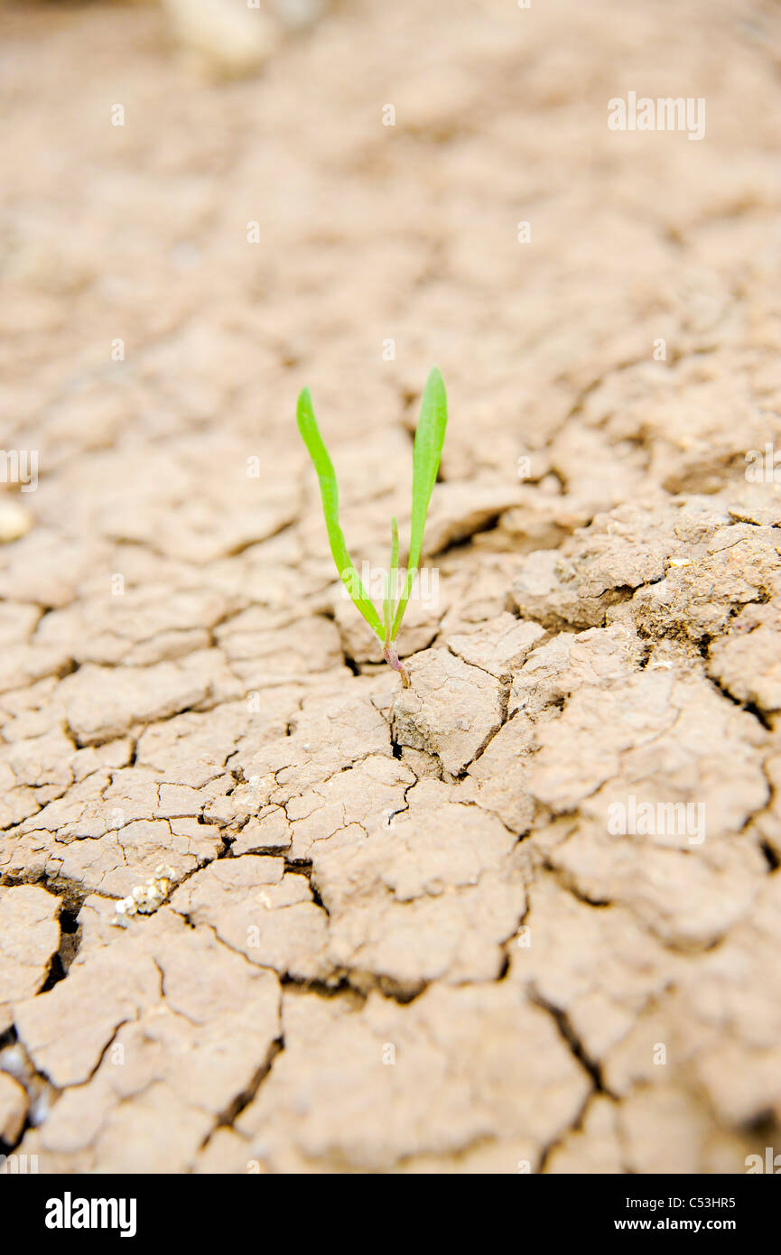 Survival - young shoot grows out of the arid parched ground - Stock Image