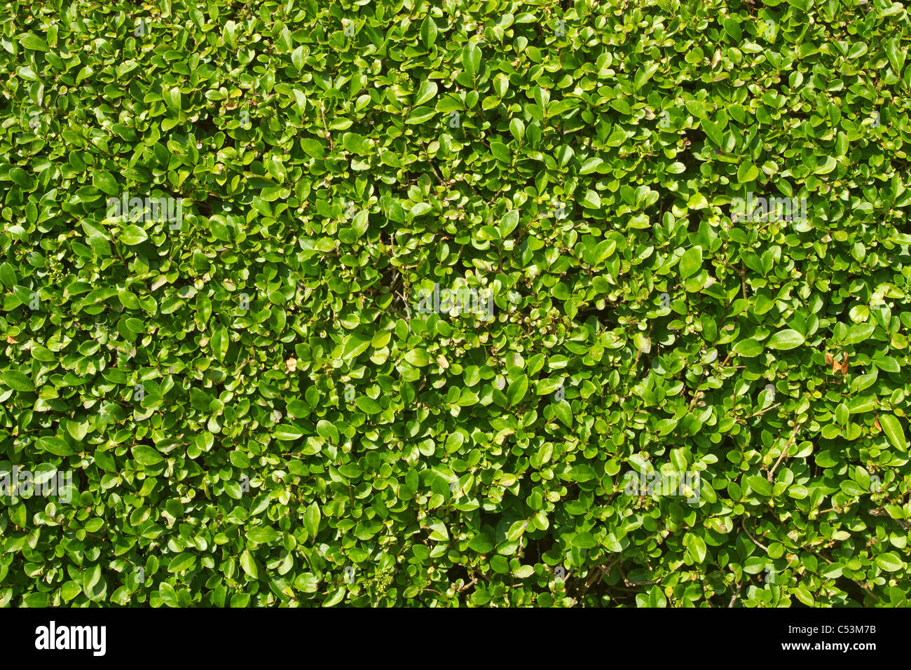 A neatly trimmed garden hedge green leaves close up. - Stock Image