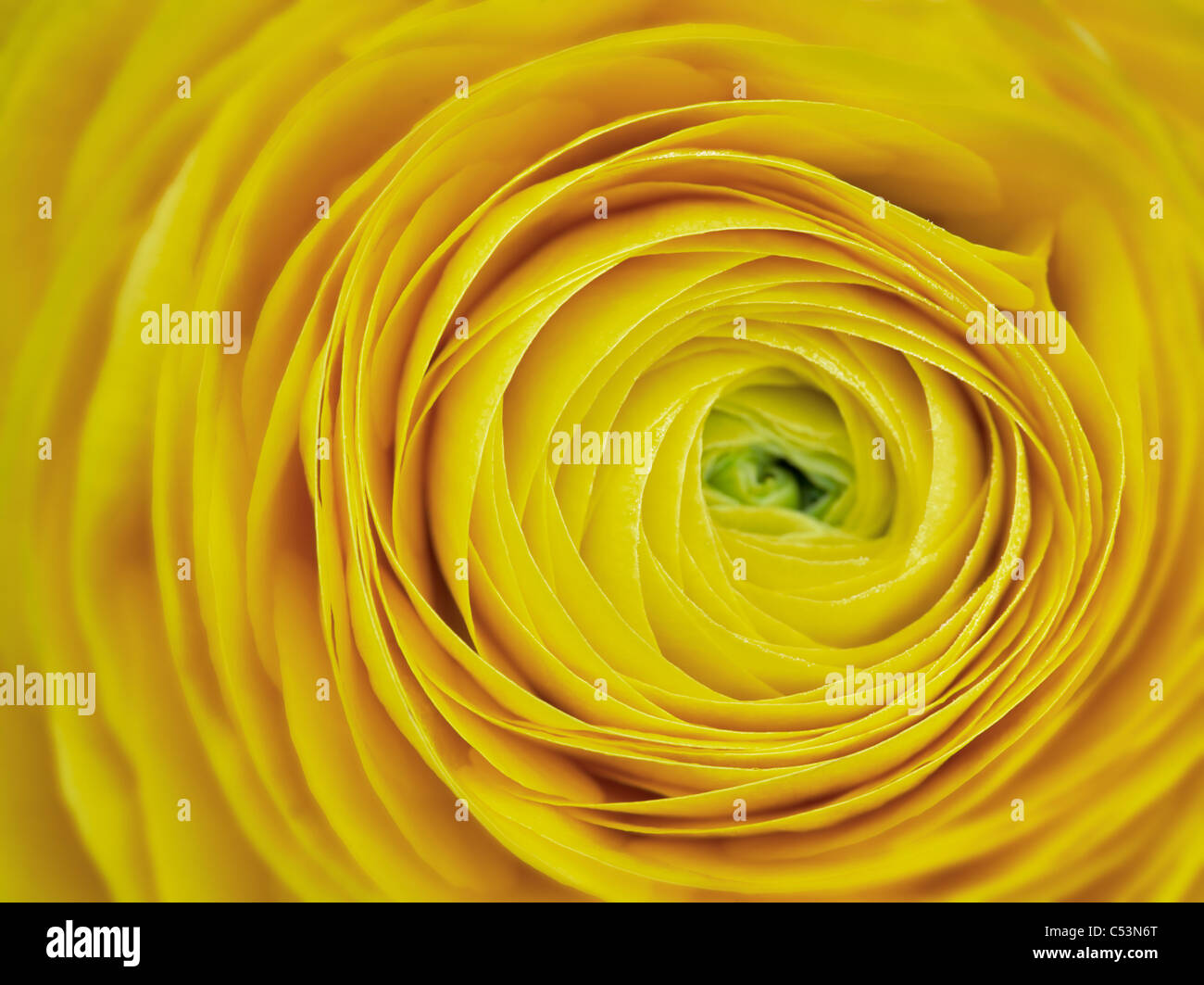 Close up of yellow ranunculus flower - Stock Image