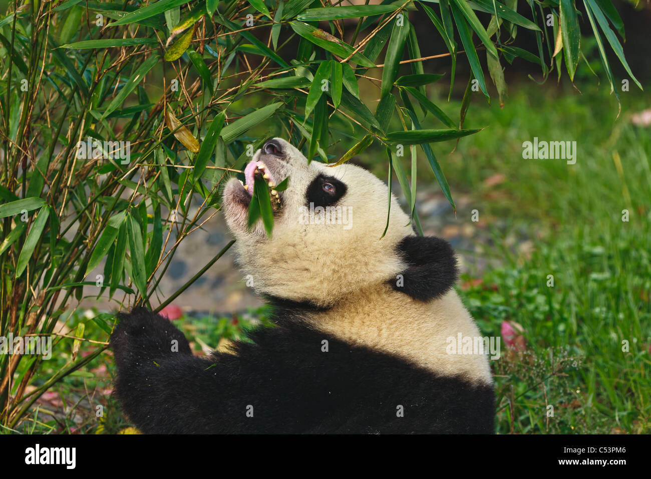Panda bear eating bamboo at Chengdu Giant Panda Breeding Center Sichuan China - Stock Image