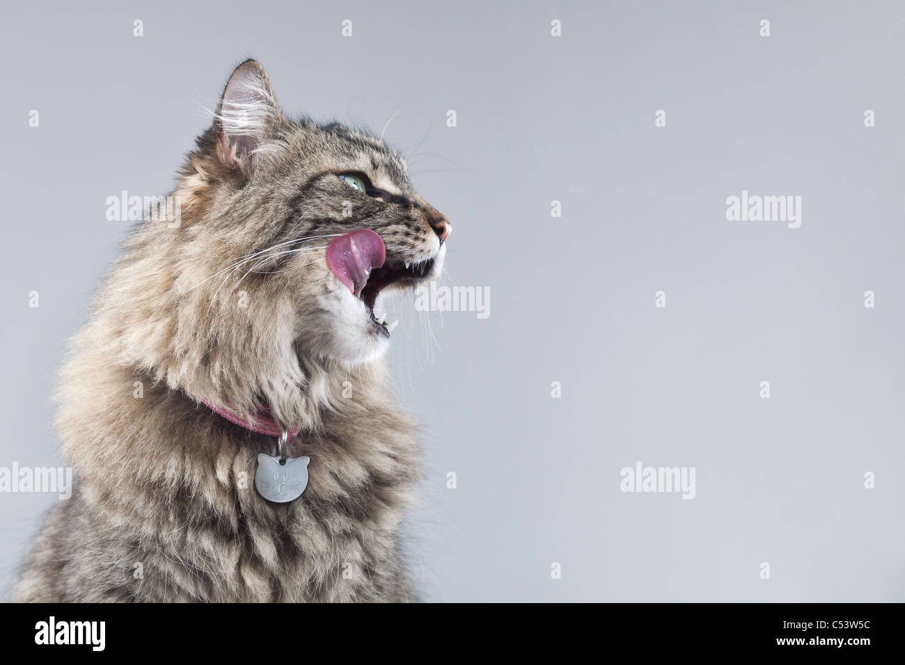 Tabby cat in profile against a gray background licks her lips, with a pink tongue sticking out. - Stock Image