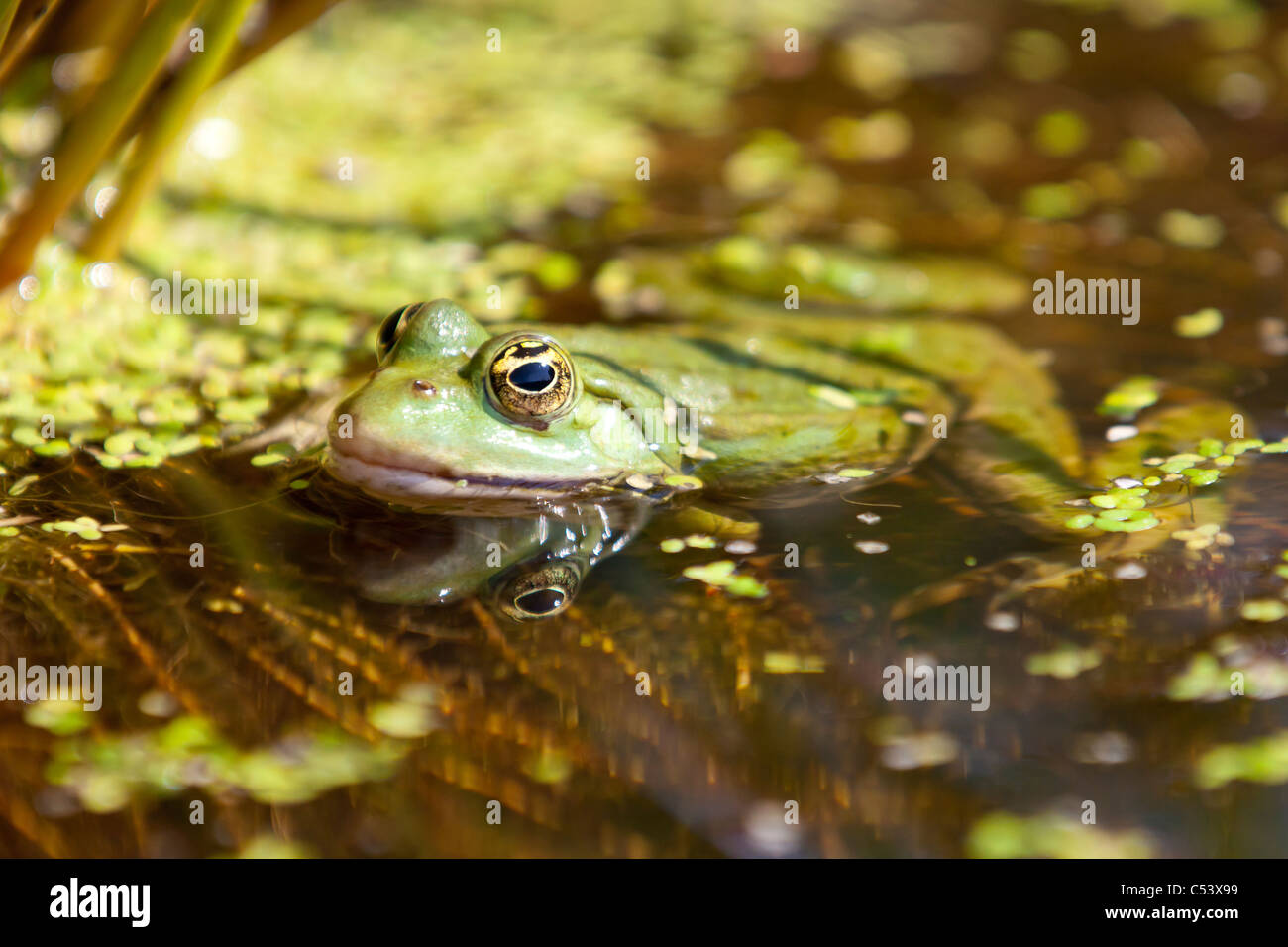 Common toad in a pond with his head above the water - Stock Image