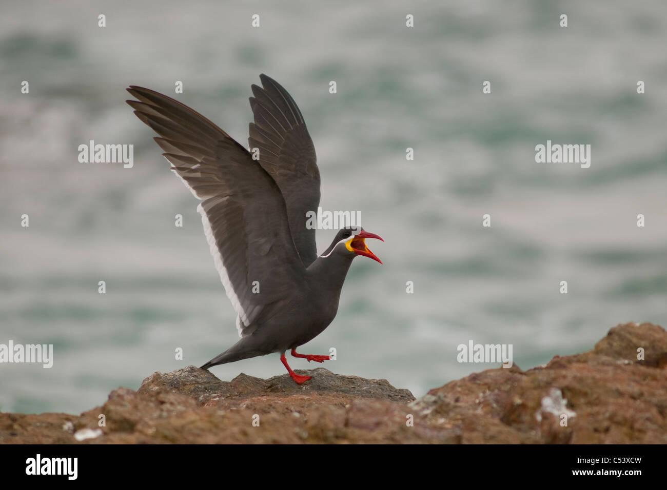 Inca Tern, Larosterna inca Paracas National Reserve, Peru WILD Stock Photo