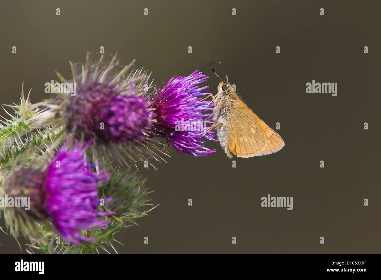 Large Skipper (Ochlodes faunus) feeding from thistle flowers on the banks of the River Brue in Glastonbury - Stock Image