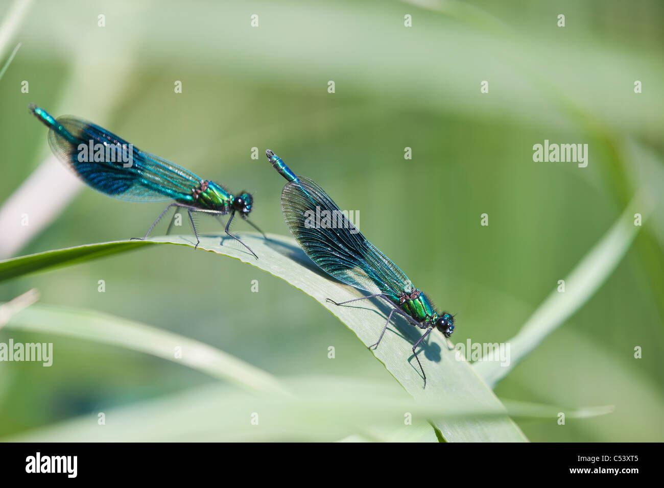 Banded Demoiselle (Calopteryx splendens) dragonflies resting during displaying for females on the bank of the River - Stock Image