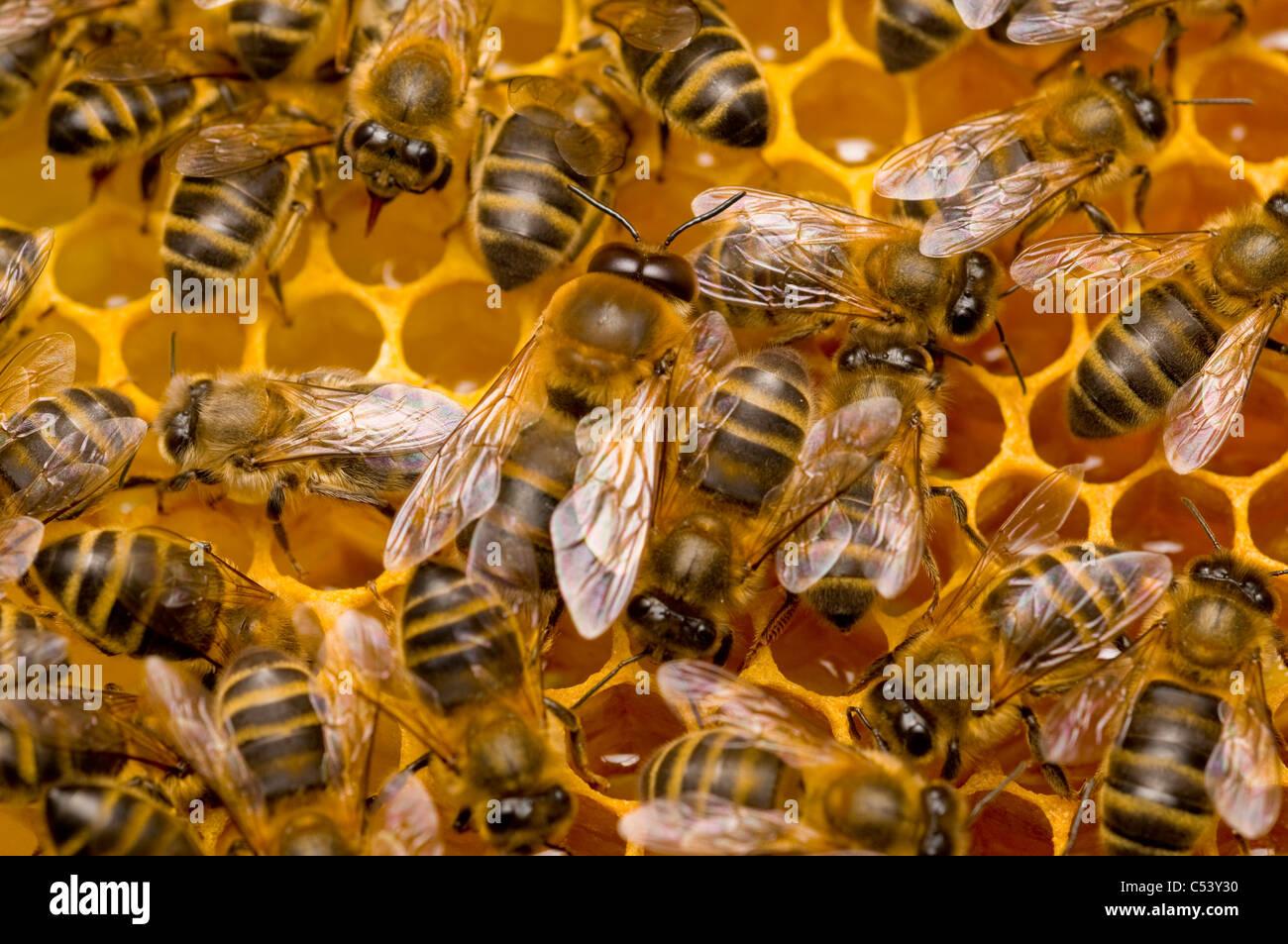 male drone honeybee Apis mellifera - Stock Image
