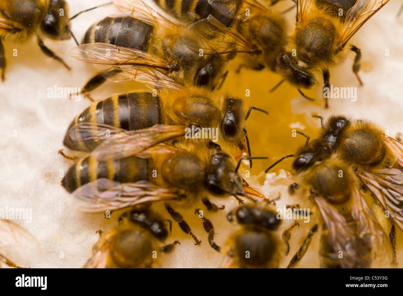 Honeybees Apis mellifera on honeycomb - Stock Image