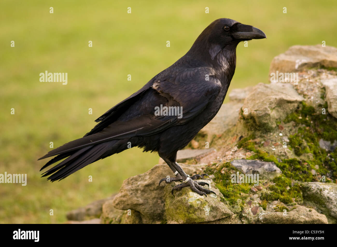 RAVEN Corvus corax Bird with clipped wing feathers to prevent flight Tower of London, UK CAPTIVE - Stock Image