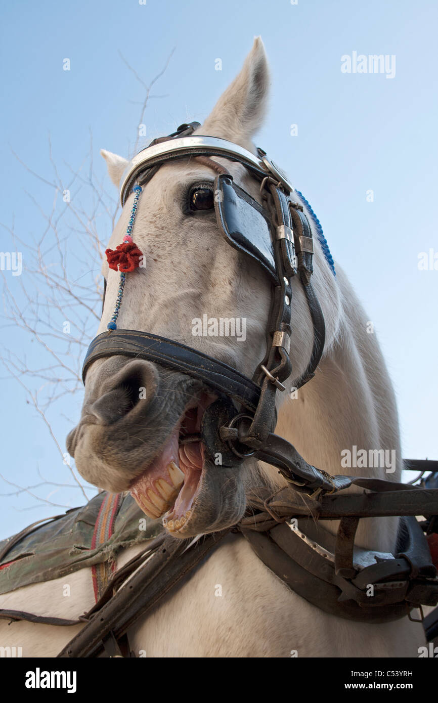 Funny Portrait Of Laughing Horse With Harness In Prince Island Stock Photo Alamy
