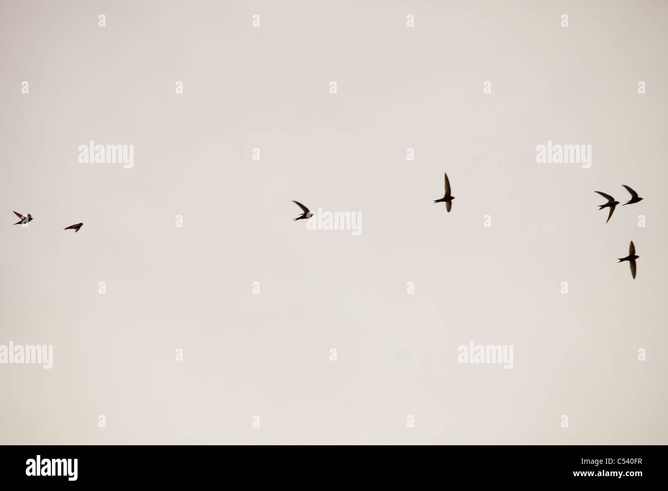 Pallid Swifts (Apus pallidus) flying in a flock above Lorca in Spain. - Stock Image