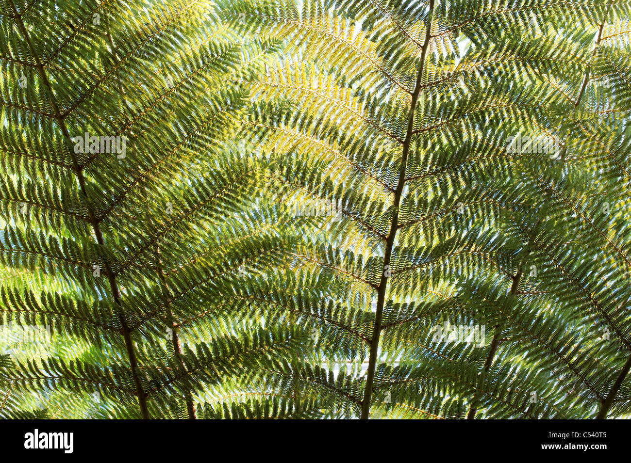 Cyathea Dealbata. Silver tree fern fronds - Stock Image