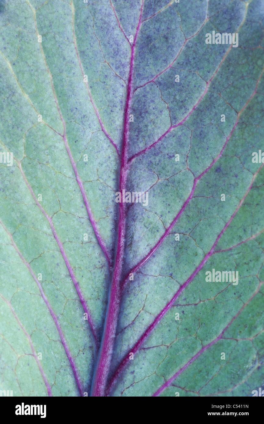 Cabbage redcap leaf pattern - Stock Image