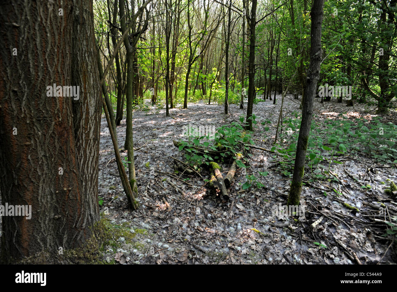 Spider webs cover the floor of Wheelers Woods - Stock Image
