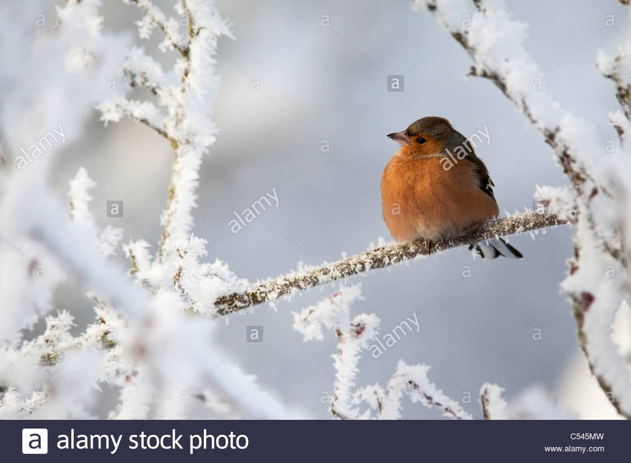 Chaffinch, Fringilla coelebs, in snow, Northumberland, UK - Stock Image