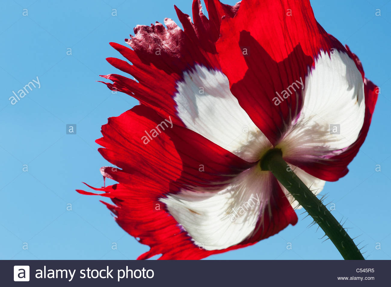Red and white poppies petals stock photos red and white poppies papaver somniferum victoria cross fringed opium poppy flower stock image mightylinksfo