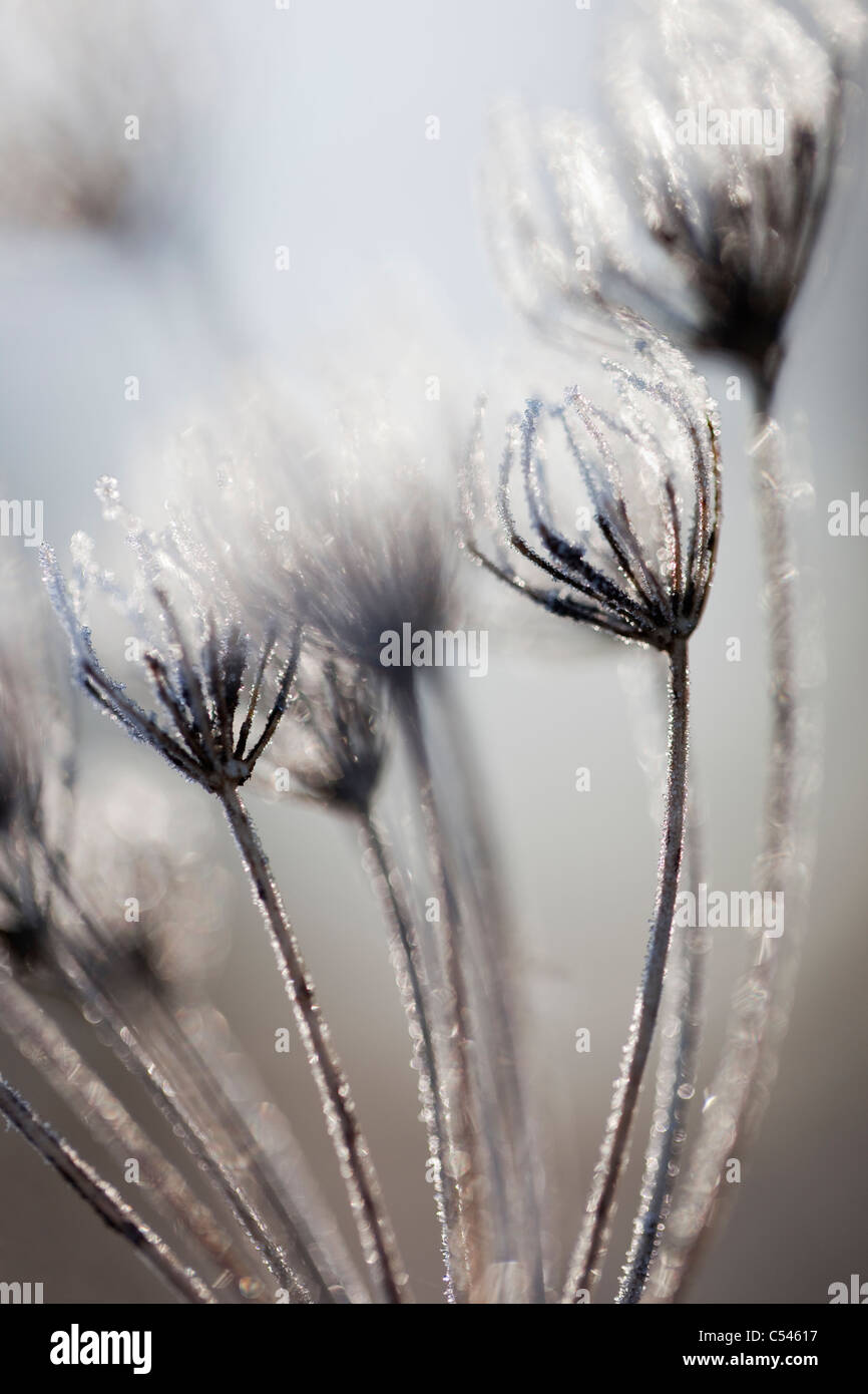 Frosted seedhead detail, carrot family, Apiaceae, Northumberland, UK - Stock Image