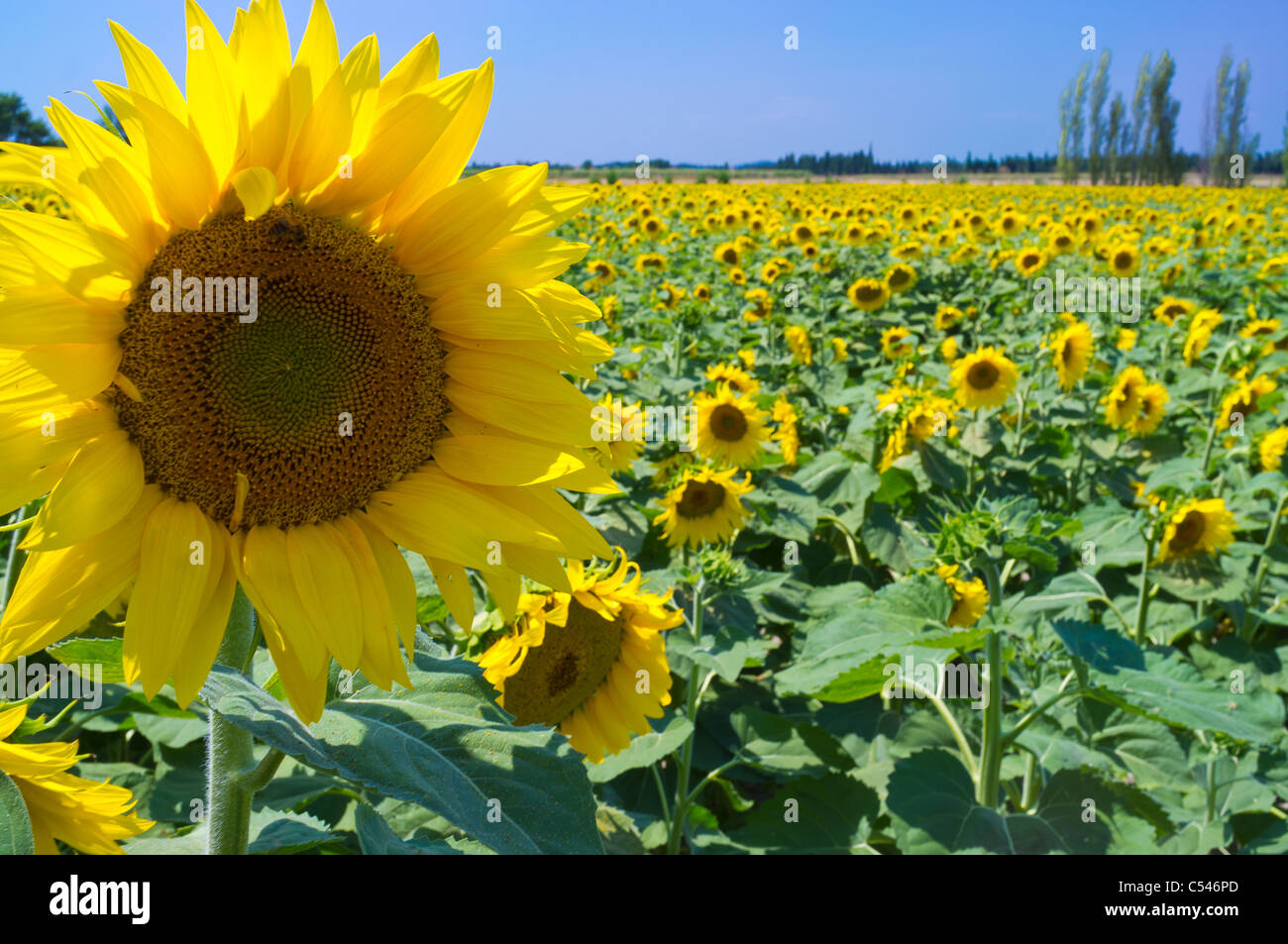 Yellow sunflower in a French field of sunflowers with a blue sky - Stock Image