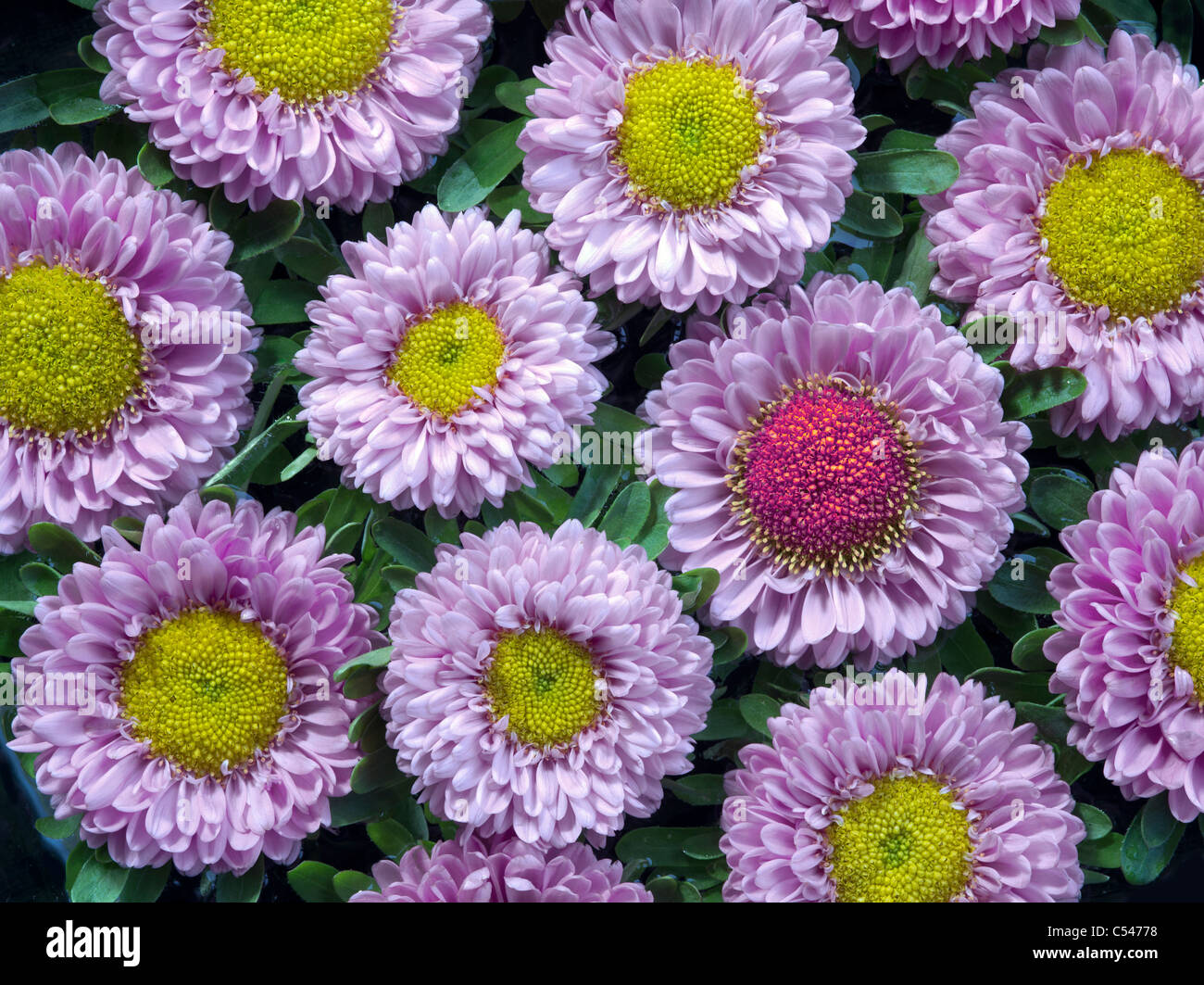 Close up of aster blossoms. - Stock Image