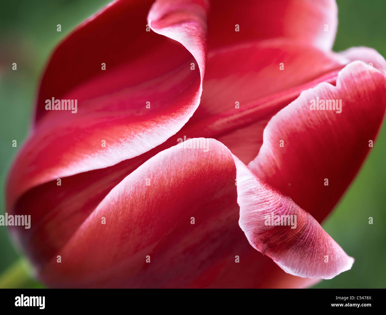 Close up of red tulip flower - Stock Image