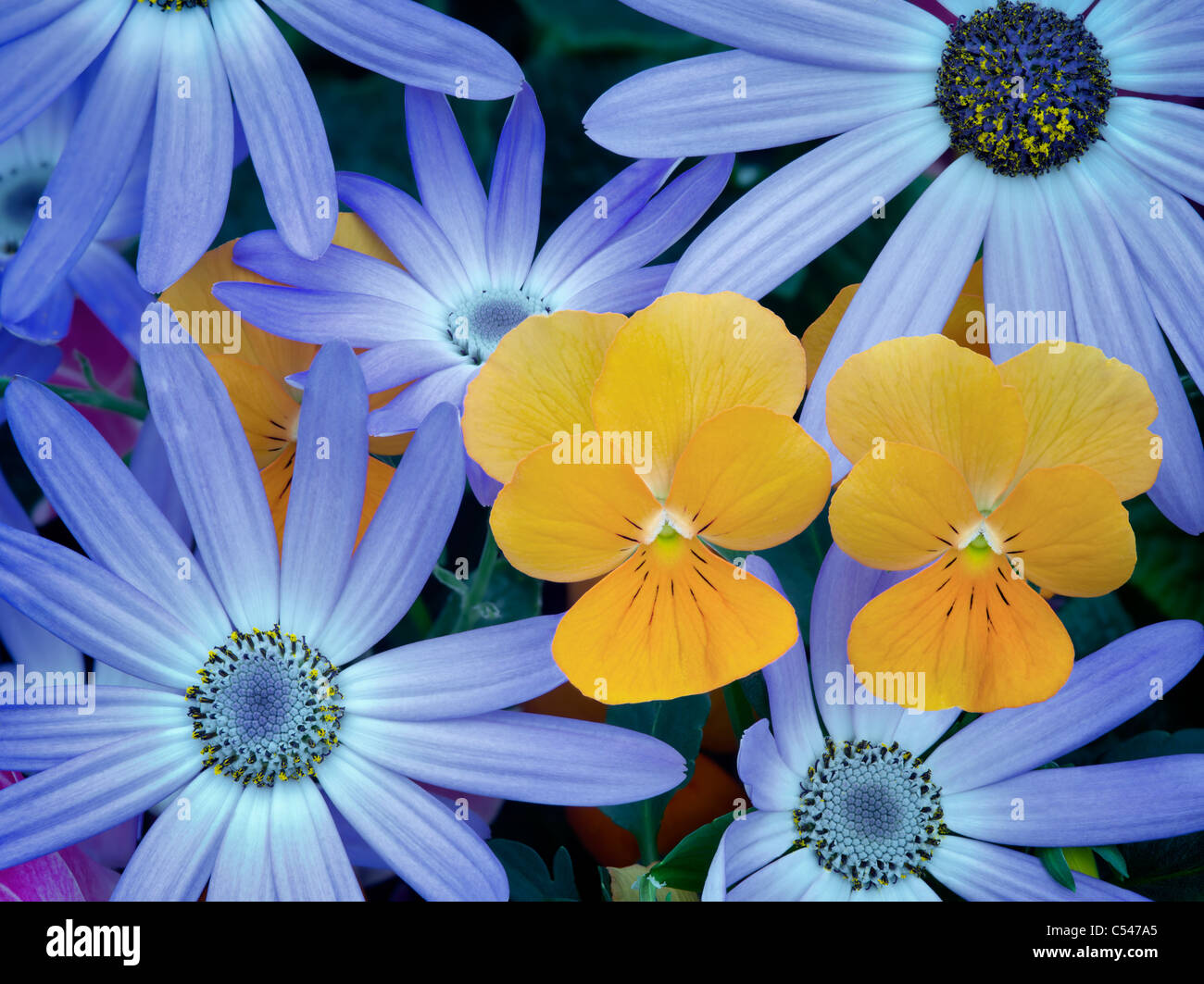 Blue Cineraria and orange violet flowers. - Stock Image