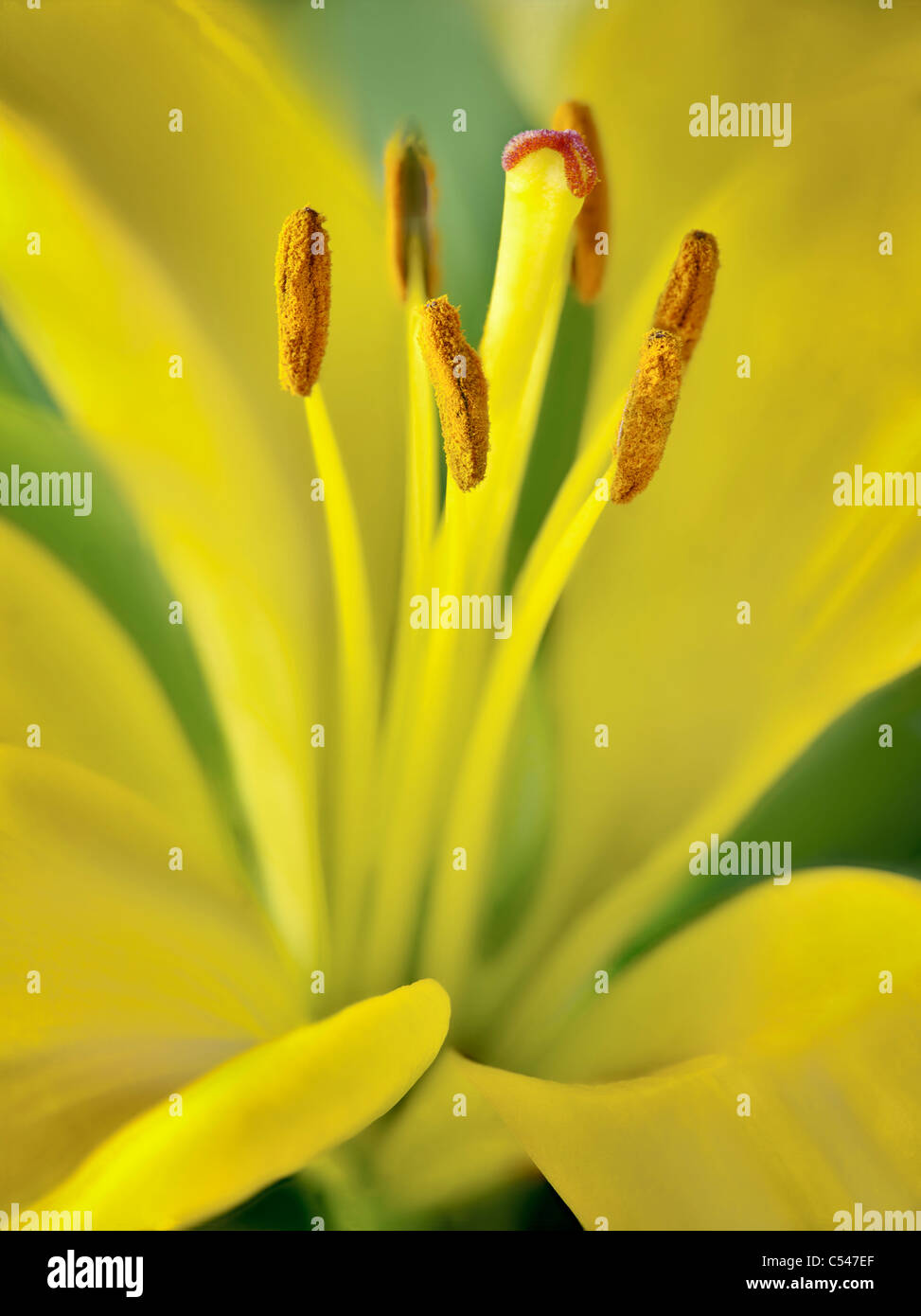 Close up of Asiatic Lily. - Stock Image