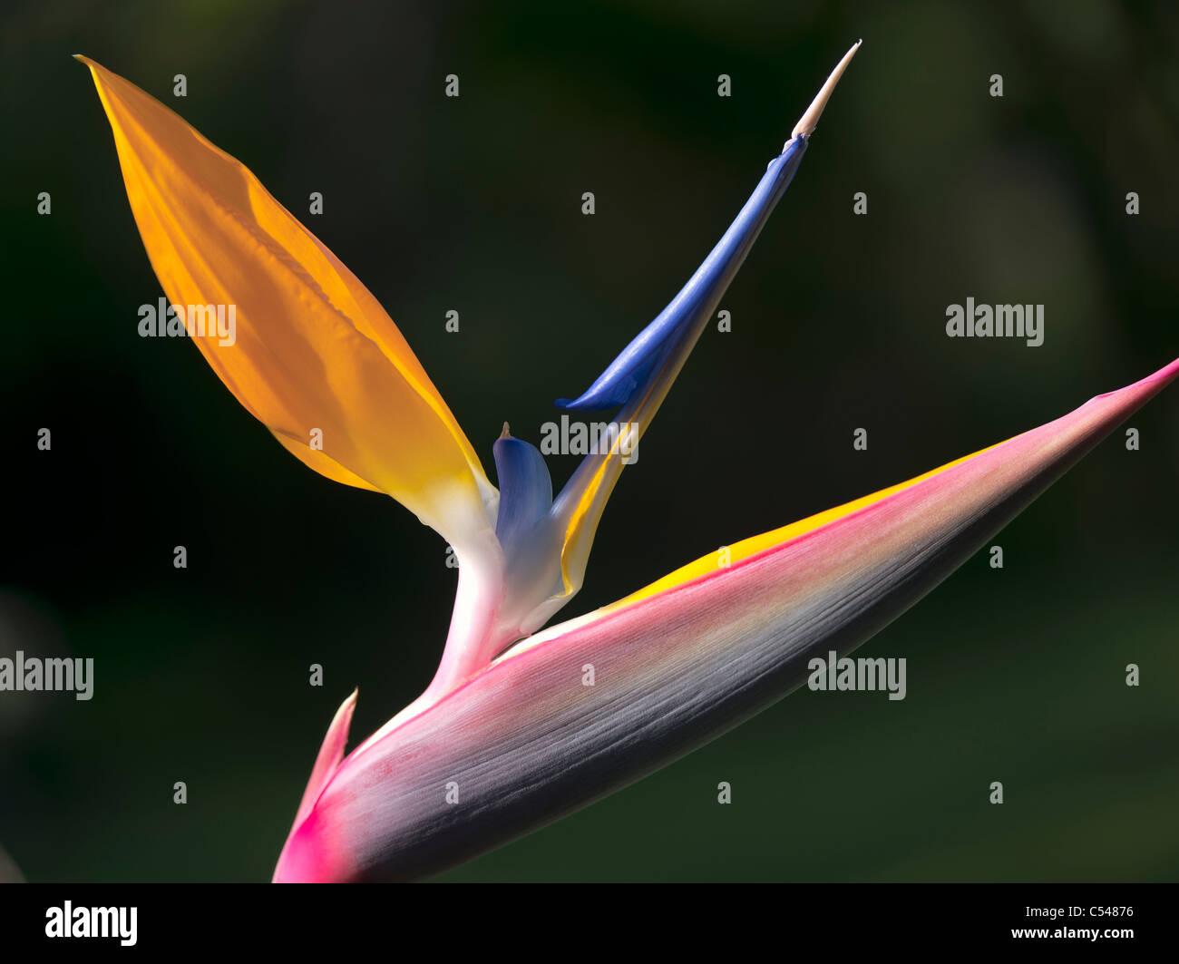 Close up of Bird of Paradise flower. St. John. Virgin Islands. - Stock Image