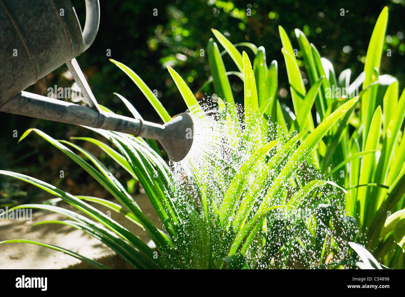 Close-up of a watering can watering plants in a garden - Stock Image
