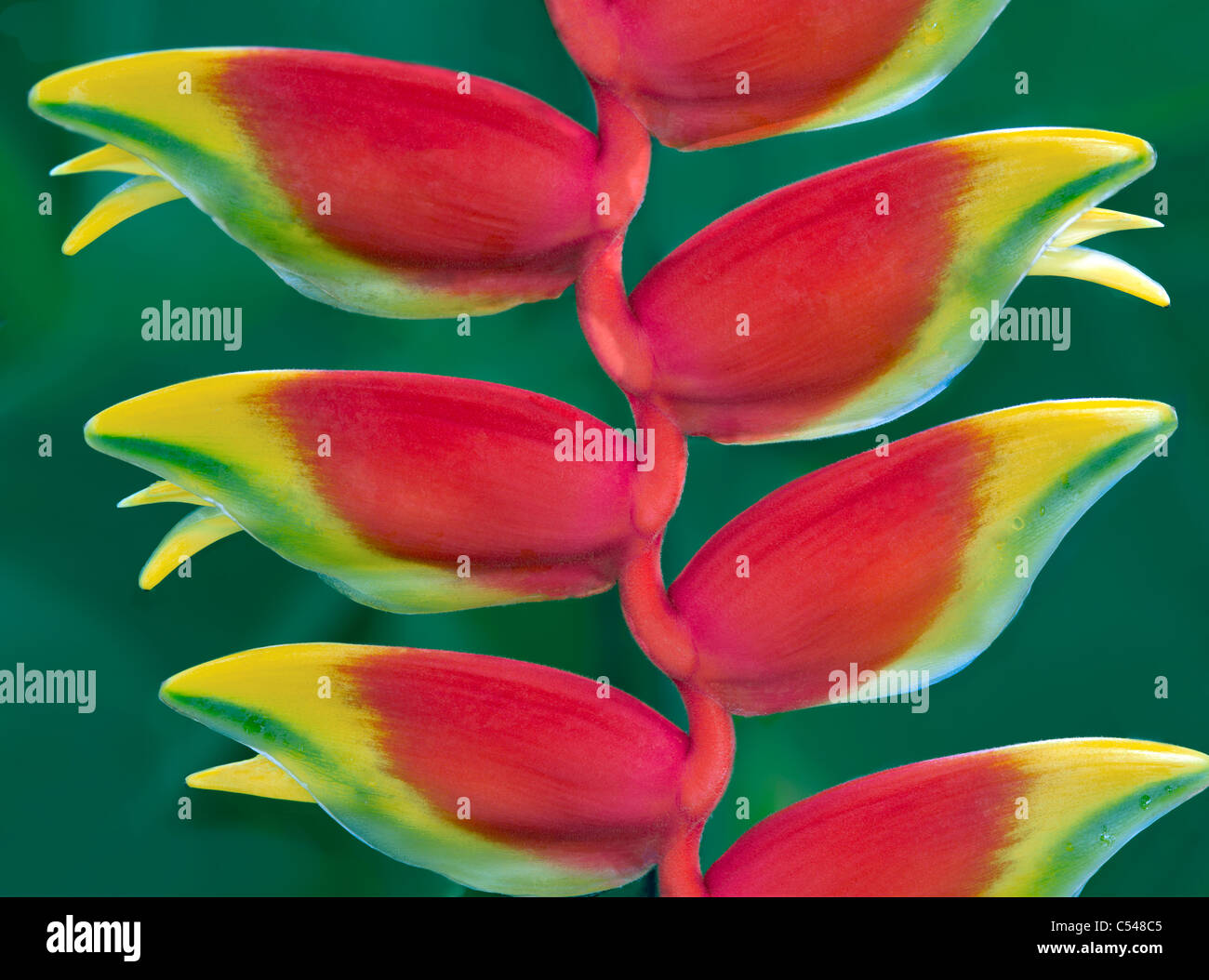 Hanging Lobster Claw, (Heliconia rostrata). St. John Virgin islads - Stock Image