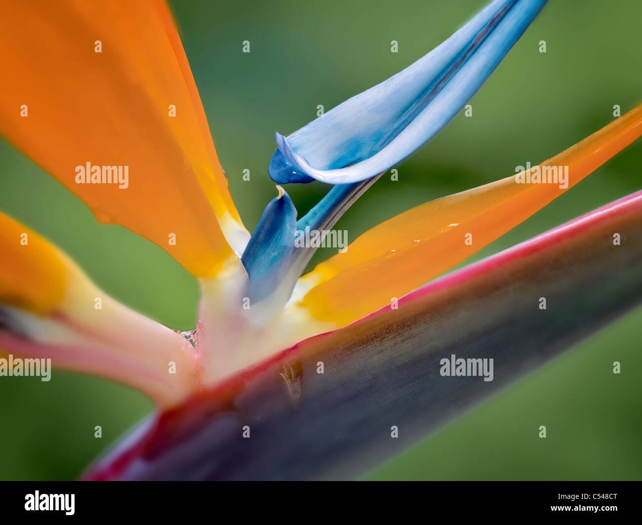 Close up of Bird of Paradise flower. St. John, Virgin Islands - Stock Image