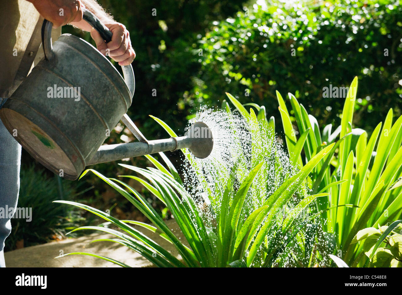 Mature man watering plants in a garden - Stock Image
