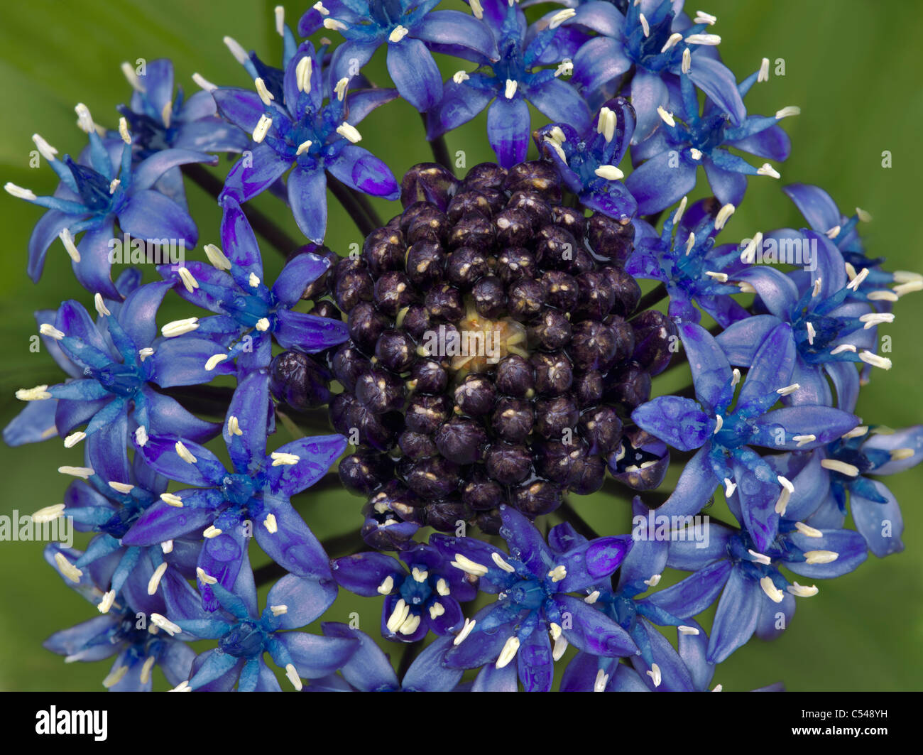 Cuban Lily (Scilla peruviana) The Connie Hansen Garden. Lincoln City, Oregon - Stock Image