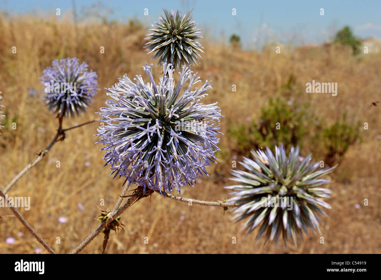 Echinops sphaerocephalus globe thistle on open ground in Side, Turkey - Stock Image