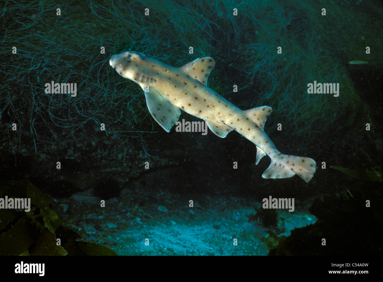 Horn shark, Heterodontus francisci, Santa Cruz Island, Channel Islands National Marine Sanctuary, California, Pacific - Stock Image
