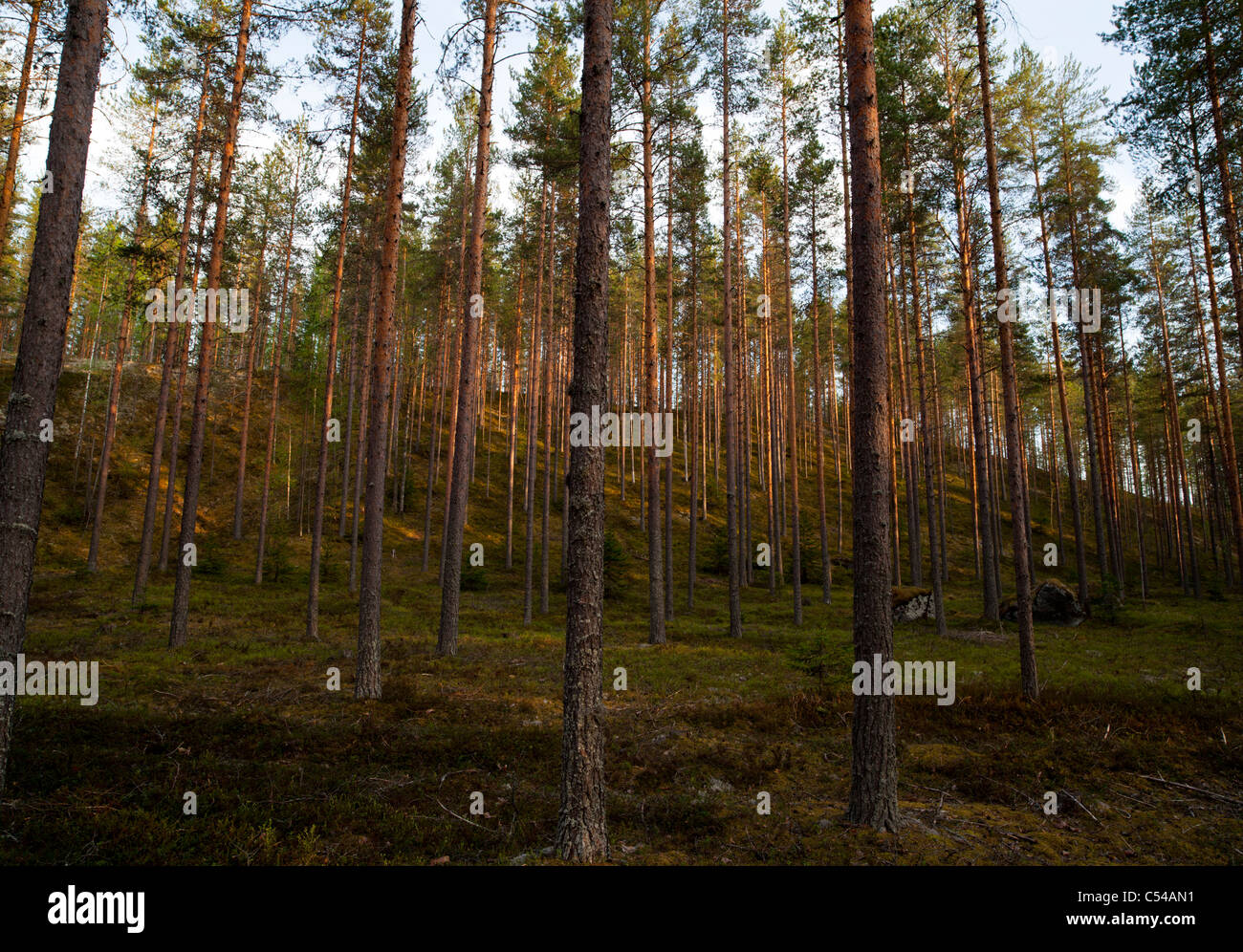Pine ( pinus sylvestris ) forest growing on dry esker , Finland - Stock Image