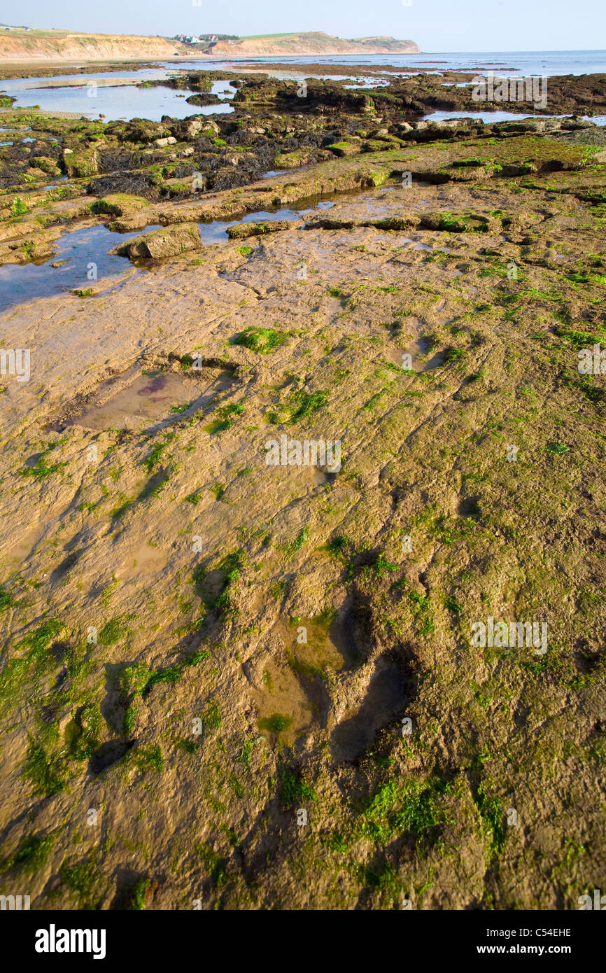 wave cut platform, Fossil, Paleontology, Dinosaur, Iguanodon, footprint, Compton Bay, Isle of Wight, England, UK, - Stock Image