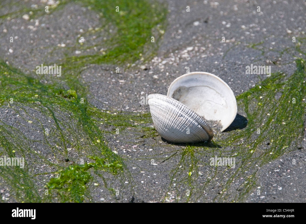 Exposed open bivalve mollusk at low tide in the sand surrounded by seaweed in Olympia, Washington. - Stock Image