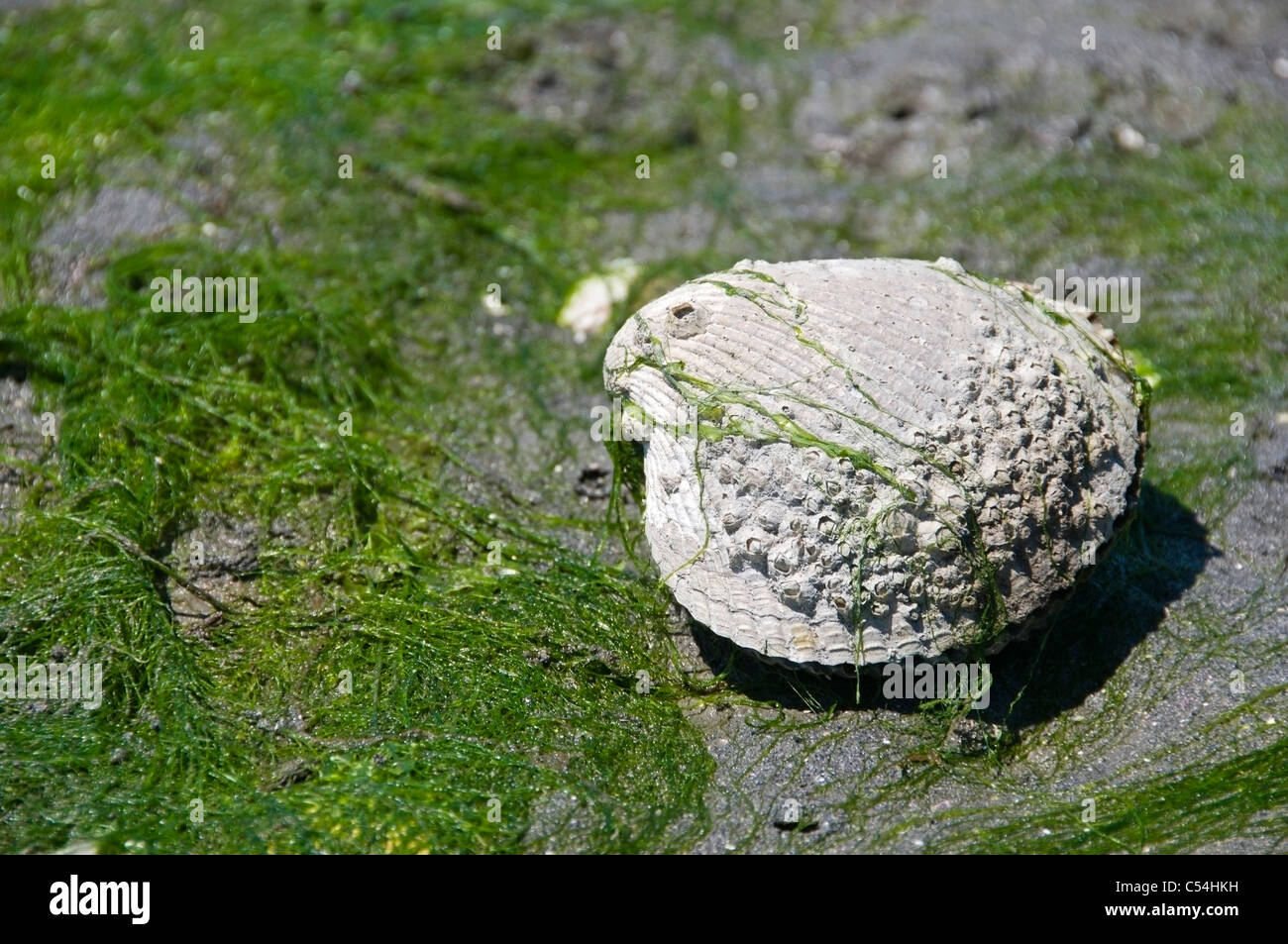 Exposed closed bivalve mollusk at low tide in the sand surrounded by seaweed in Olympia, Washington. - Stock Image